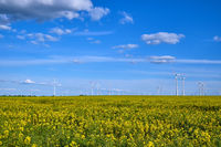 Gelb blühender Raps mit Windenergieanlagen