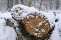 Baumstamm im verschneiten Wald