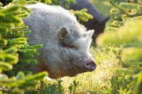 Schwein hinter Tannen