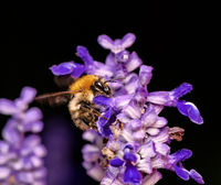 Common carder bee pollinating at a sage flower