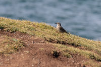 Rock Pipit (Anthus petrosus) walking along the cliff edge at Kynance Cove