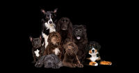 eight dogs isolated on black background