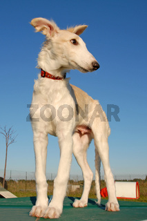 Russian Borzoi dog