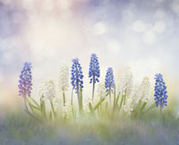 Blue and white muscari flowers