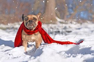 Französische Bulldogge Hund mit Schal im Schnee