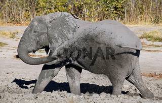 Elefant im Savuti-Areal, Chobe-Nationalpark, Botswana; Loxodonta africana; elephant, Savuti, Chobe, Botsuana
