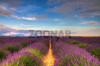 Endless Lavender fields