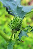 210724-04 Gemeiner Stechapfel Frucht, Jimsonweed, Datura Stramonium.jpg