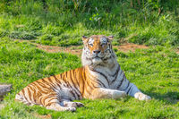 Tiger in a wildlife zoo - one of the biggest carnivore in nature.
