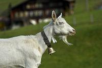 Saanenziege, ungehörnter Ziegenbock mit Ziegenbart und Glocke, Saanen, Schweiz