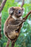 The brown koala  sitting on a branch