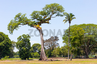 Costa Rica, typical tree of Central America called Ceiba