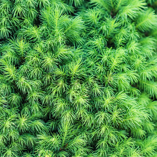 Texture, background, pattern of green sprouts of evergreen Canadian Picea glauca Conica White spruce
