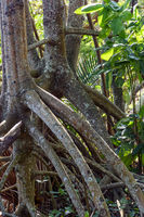 Roots and vegetation typical of mangroves