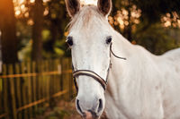 White arabian horse standing on farm ground, blurred fence and trees background, closeup detail to animal head