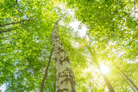 Birch tree in the fresh green forest in spring with scenic sun rays