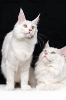Portrait of two Maine Shag Cats. Beautiful studio shot on black and white background