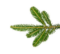 Close up branch of green spruce tree isolated