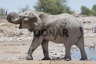 Afrikanischer Elefant am Wasserloch, Namibia