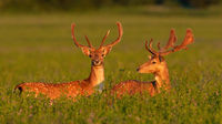 Two fallow deer stags standing on meadow in spring sunset