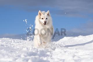 Islandhund, von der FCI anerkannte Hunderasse aus Island