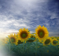 Sunflower field at sunset.Landscape from a sunflower farm.Agricultural landscape.Sunflowers field.