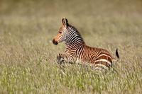 Cape mountain zebra (Equus zebra) foal running