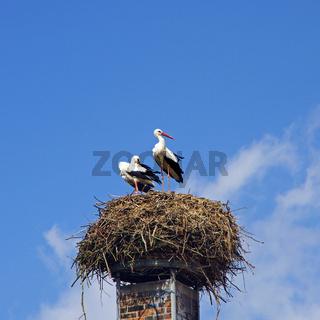 Storks ciconia