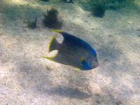 Bermuda blue angelfish