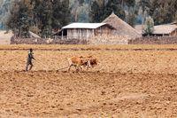 Ethiopian farmer plows fields with cows