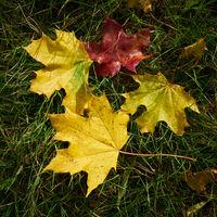 Blätter eines Spitzahorn (Acer platanoides) auf einer Wiese