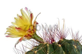 Gelbe Blüte eines Echinopsis Kaktus