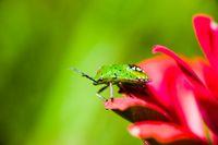 Southern green stink bug (Nezara viridula) larva on red flower's petals on green background