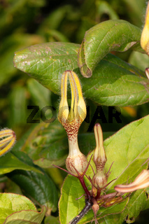 Rare flower , Ceropegia hirsuta, Satara, Maharashtra, India
