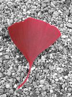 Rotes Ginkgoblatt