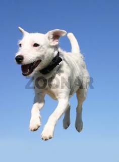 jumping jack russel terrier