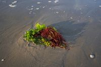 Green and red seaweed have been thrown onto the beach by the waves close up