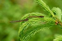 Fruehe Adonisjungfern (Pyrrhosoma nymphula)