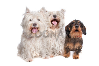 two west highland white terrier and a wire haired dachshund