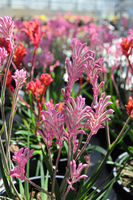 Vertical photos of a pink Kangaroo Paw flowers
