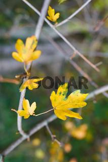 Blätter eines Feldahorn (Acer campestre) im Herbst