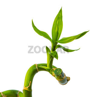 Green Bamboo Leaf isolated on white