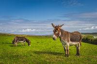 Donkeys, Equus asinus, grazing on green pasture at Kerry Cliffs