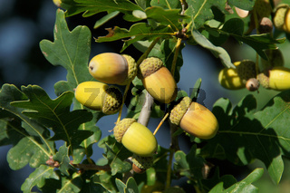 Quercus robur, Stieleiche, German oak, Eicheln