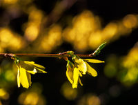 Twig with yellow Forsythia blossoms
