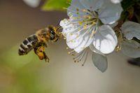 Biene bestäubt Obstbaum