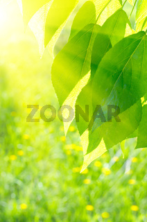Poplar leaves on spring floral background