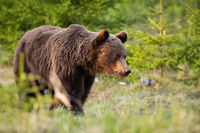 Brown bear walking in woodland in summertime nature