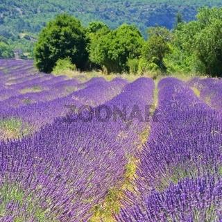 Lavendelfeld - lavender field 23