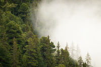 Mountain forest with green coniferous trees partially hidden in dense white fog